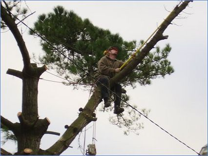 Removing limbs from pine tree over telep