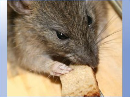 Rat taking a meal